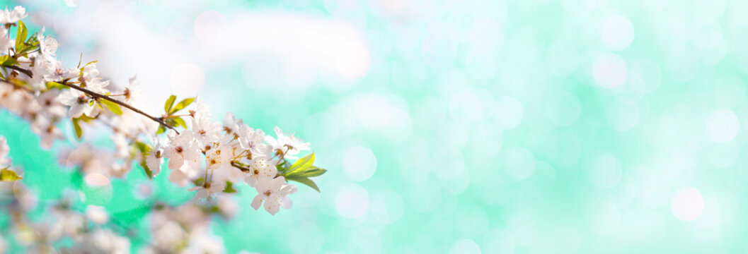Long horizontal banner with blooming cherry, apricot tree flowers and soft airy light background. Shallow depth of field