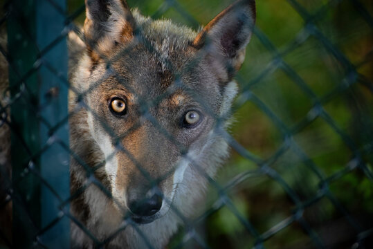 The eyes of a young wolf inside an observatory
