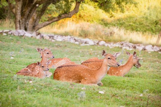 Baby fallow deer with its mum in the grass