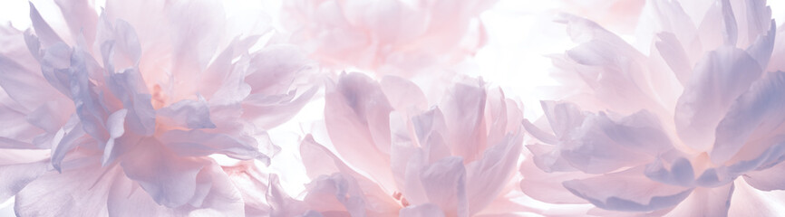 Fototapeta Blossoming delicate peony,pastel and soft background