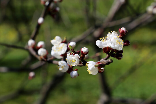 White apricot flowers on a branch. Spring garden in sunny day