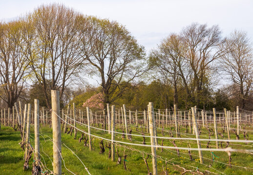 A long row of grape vines planted in the fields of a vineyard. Newport, Rhode Island, early spring.