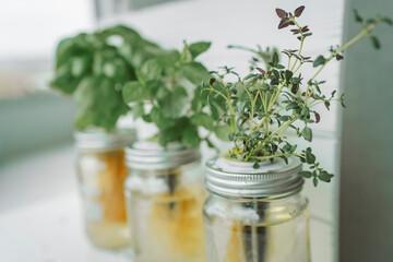 Fototapeta Fresh herbs gardening at kitchen countertop top view of genovese basil, mint, thyme in hydroponic kratky method jars. obraz