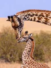 Fototapeta giraffe in the wild with baby. Mother kissing her baby.