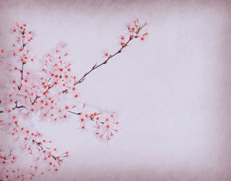 cherry blossoms on tree with Old antique vintage paper background