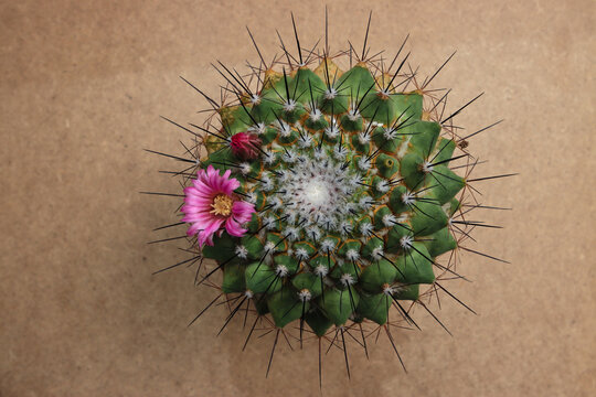 Cactus  – succulent, popular and generally known ornamental plant