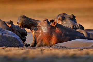 Fototapeta Hippo with open muzzle in the water. Hippo fight. African Hippopotamus, Hippopotamus amphibius capensis, with evening sun, animal in the nature water habitat, Botswana, Africa. Wildlife nature.