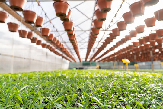 Growing vegetable seedling and flowers for market. Greenhouse and agricultural business technologies. Inside industrial hothouse. Rows of fresh greenery in soil and flowerpots hang under glass roof
