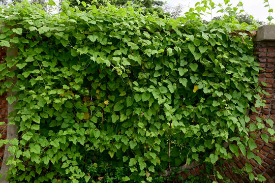 Close up green climber plant on wall natural with natural background at Thailand.