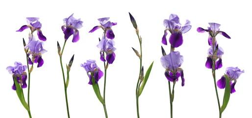 Set fresh violet iris flower isolated on white background