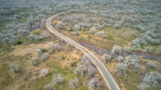 Aerial view of a truck driving on a road surrounded by massive Baobab trees, Cabo Ledo area, Angola