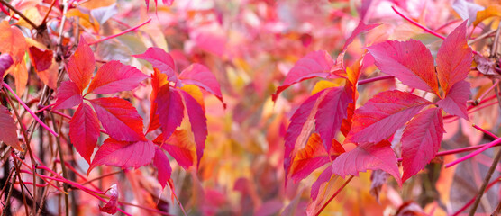 Banner. Red autumn leaves in the autumn garden, panorama