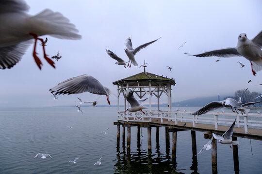Austria, Vorarlberg, Bregenz, Seagulls flying over Lake Constance