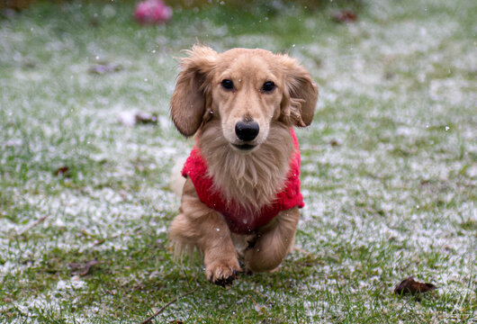 Long haired dachshund dog running in the snow