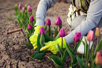 Fototapeta Gardener picking purple tulips in spring garden. Woman cuts flowers off with secateurs picking them in basket obraz