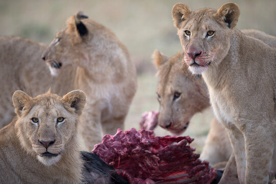 A pride of lions feeds on a recently killed wildebeest.