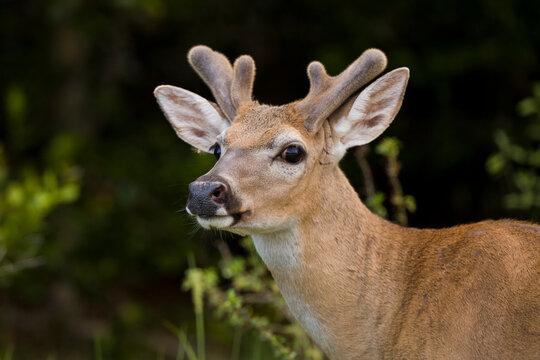 A Key Deer (Odocoileus virginianus clavium) buck in Big Pine Key, Florida.