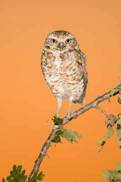 An adult burrowing owl against the western sky at sunset.