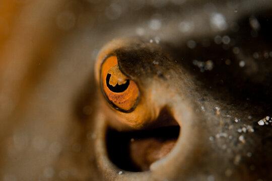 Close up of a Sea Ray`s eye in Acapulco, Guerrero, Mexico.