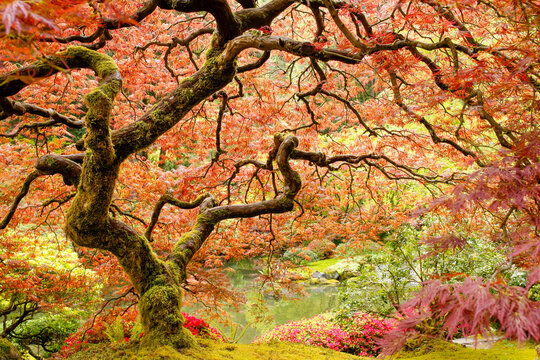 Moss covered, twisted branches of a Japanese maple tree in a garden surrounded by flowers.