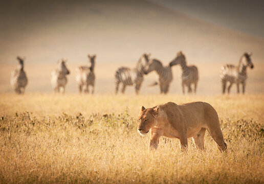 A female lion walks past a group of wary zebras in the Masai Mara, Kenya.