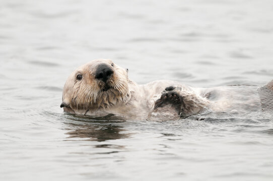 California, Morro Bay. Southern sea otter, Enhydra lutris nereis. A male grooming in the water.