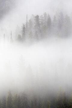 Aspen trees on a foggy, late winter morning, Grand Teton National Park, Wyoming