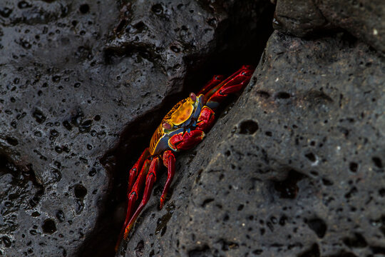 A Galapagos Islands Sally Lightfoot crab on a black lava rock.