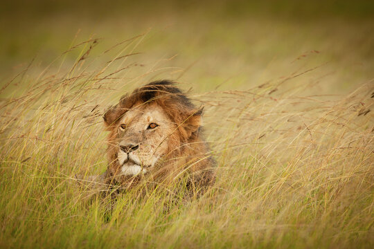A male lion waits in the long grasses of the masai mara, Kenya.