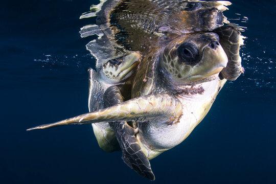 Loggerhead turtles mating 5 miles off the coast, Pacific Ocean, Ixtapa, Mexico.