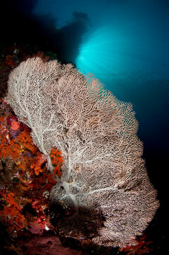 A large gorgonian with early morning sun overhead.