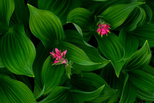 The intense magenta of paintbrush, a common summer wildflower found in subalpine meadows, is complimented nicely by the vibrant greens of a group of corn lilies.