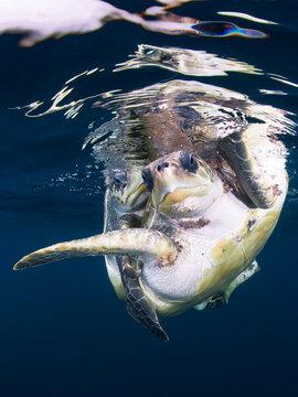 Loggerhead turtles mating 5 miles off the coast, Pacific Ocean, Ixtapa, M Mexico.