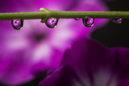 Phlox flowers are seen refracted in a series of water droplets