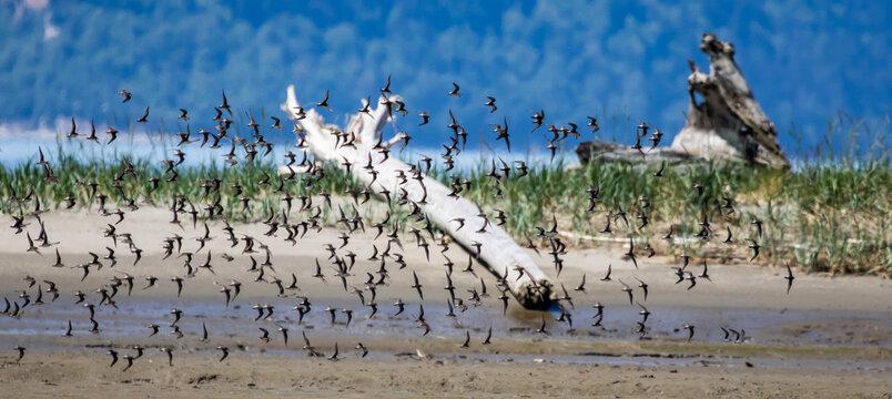 Large Flock of Western Sandpipers Flies Over Coastal Mudflat