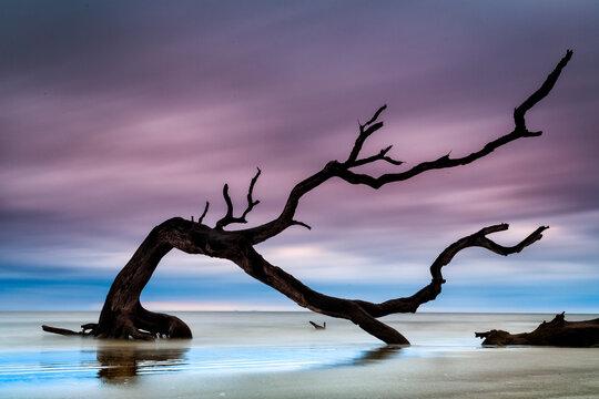 Gnarled driftwood branch greets the dawn at Driftwood Beach, Jekyll Island, Georgia.