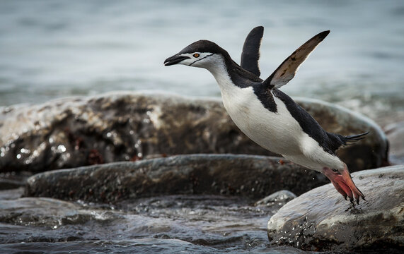 A chinstrap penguin jumps into the waters off Antarctica.
