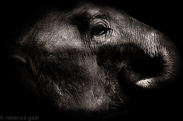 Black and white close-up of an elephant in Nepal Wall mural