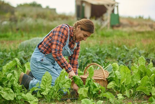 Latino adult female farmer working while harvesting lettuce plant - Farming life and harvesting concept - Focus on face