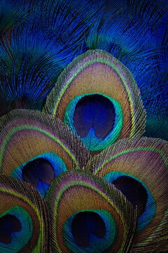 Abstract backgound with peacock feathers.