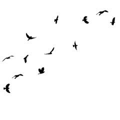 Fototapeta isolated black silhouette of a flying flock of birds