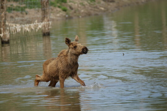 A very little moose in nature