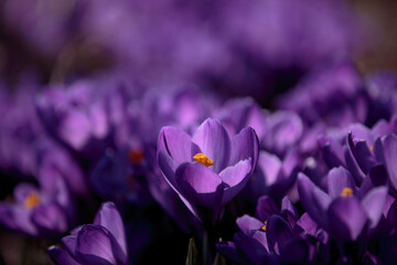 Purple saffron flower close up. Crocus flowers in the sunny garden with orange stigma. Macro shot of an early spring flower.