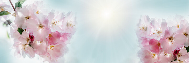 Pink cherry blossoms in full bloom beautiful spring background, banner size