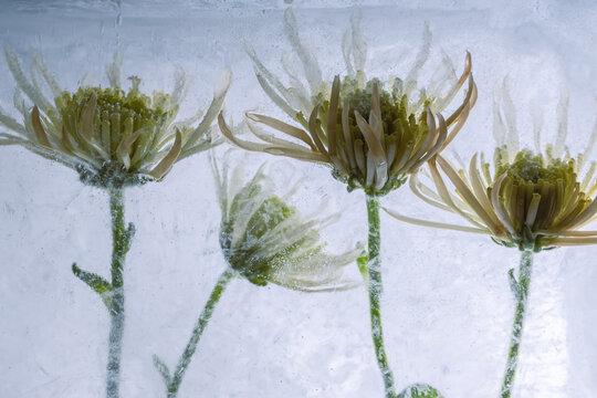 Gelbe Chrysanthemen in Eis 2