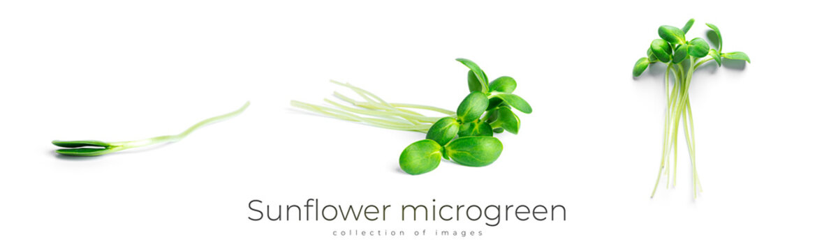 Sunflower microgreen isolated on a white background.