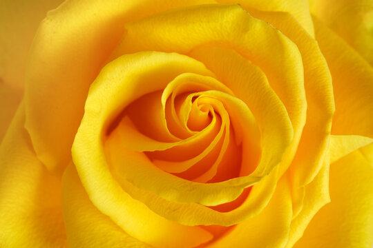 Beautiful yellow rose head close up background