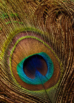 Abstract background with peacock feathers.