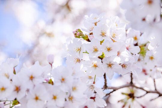 ピンク色の花びらが綺麗な満開の桜
