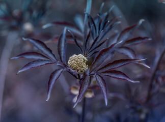 Obraz Bez czarny Sambucus nigra Black Beauty, krzew dziko rosnący - fototapety do salonu